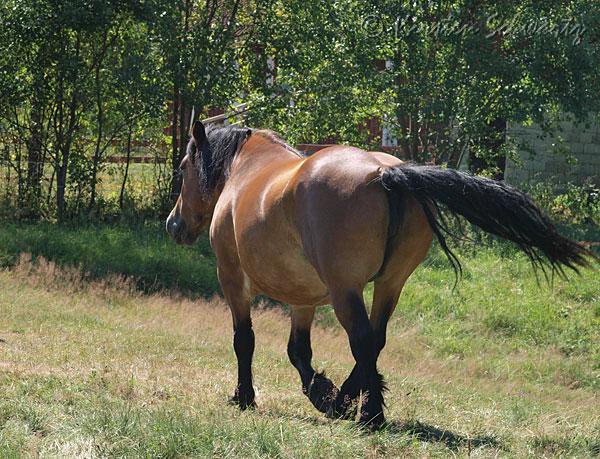 parring heste